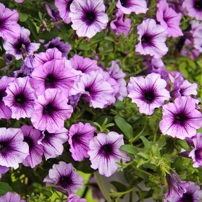 Vivid purple petunia flowers in summer garden