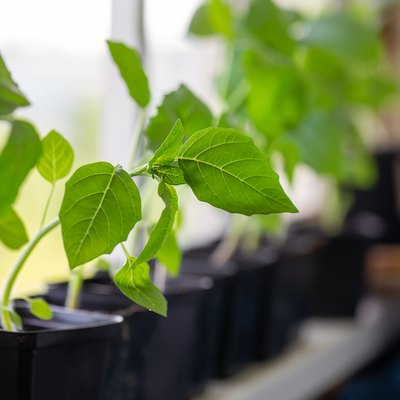Young tomatillo seedlings (Mexican husk tomato, Physalis philadelphica, Physalis ixocarpa, Vegetable physalis) in a black flower pots on windowsill. Gardening concept.