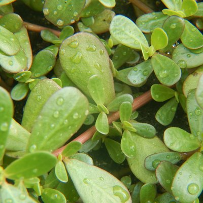 Purslane leaves after rain
