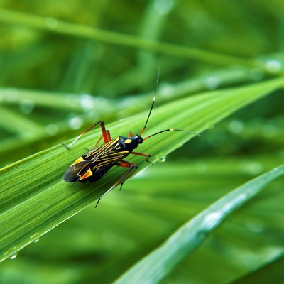 How to Kill Chinch Bugs Naturally