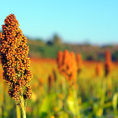 Close up of sorghum in morning sun light.