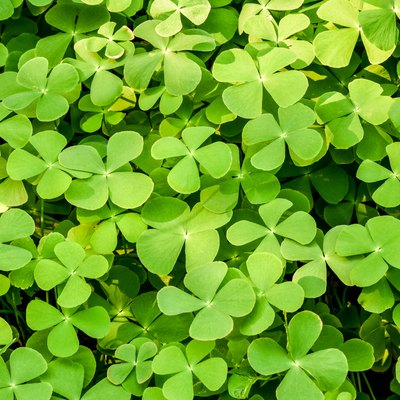 Natural grenn background of ground cover plant.