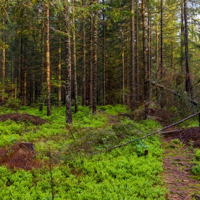 How to Grow and Care for Pine Trees