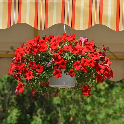 Potted red petunias