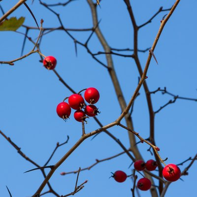 Bright red hawthorn berries