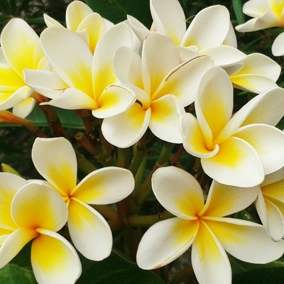 How to Care for Plumeria