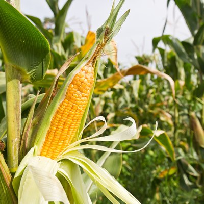 Detail of corn on the stalk in the middle of the plantation