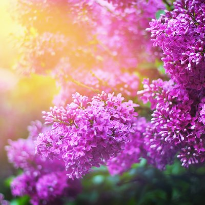 Types Of Lilacs