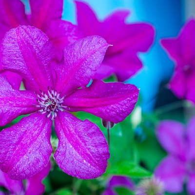 Blooming clematis in the garden