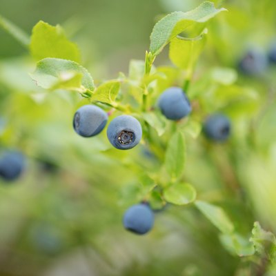 Close up of wild blueberry bushes