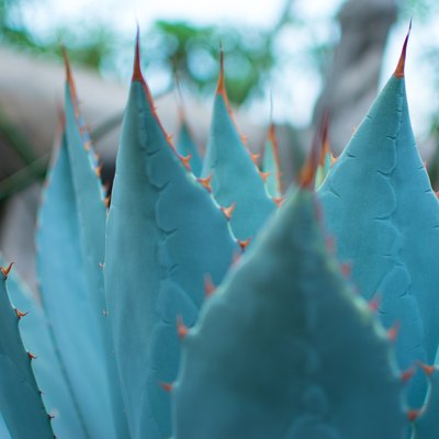 How to Care for a Blue Agave Plant