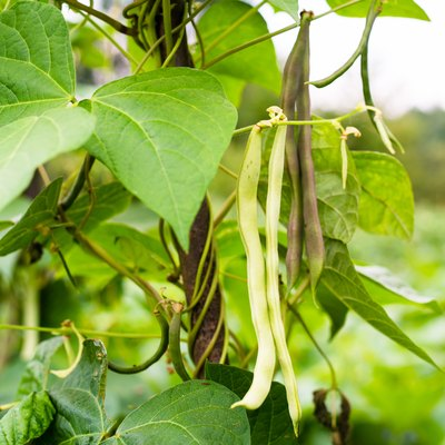 Unripe bean (Phaseolus vulgaris) pods