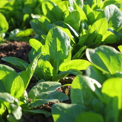 Fresh organic leaves of spinach in the garden