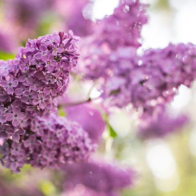 How To Care For Lilacs