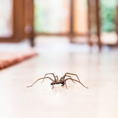 common house spider on the floor in a home