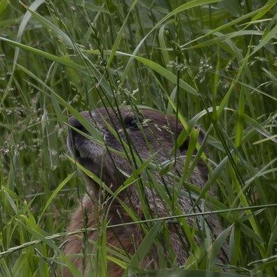 The groundhog (Marmota monax)