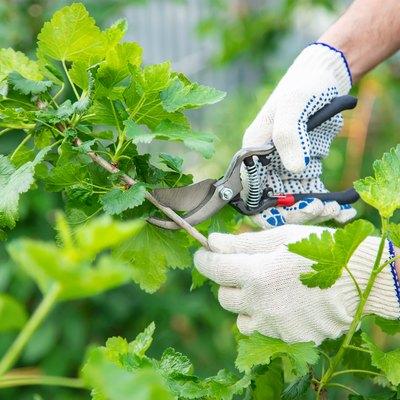 Gardener pruning shears bushes. Garden. Selective focus.