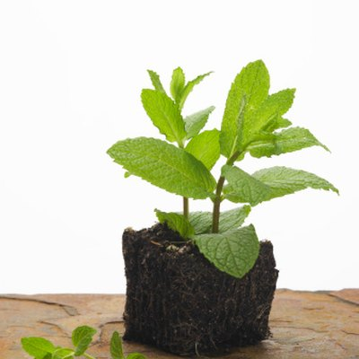 Difference Between Peppermint Extract & Mint Extract
