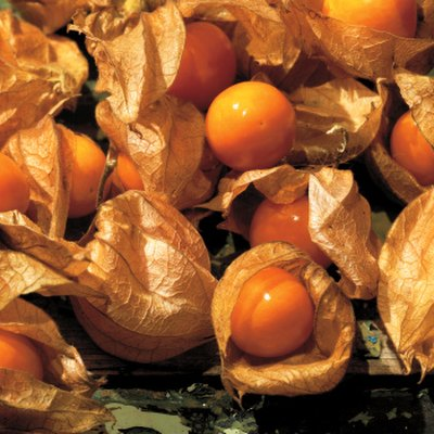 How to Harvest Chinese Lantern Seeds