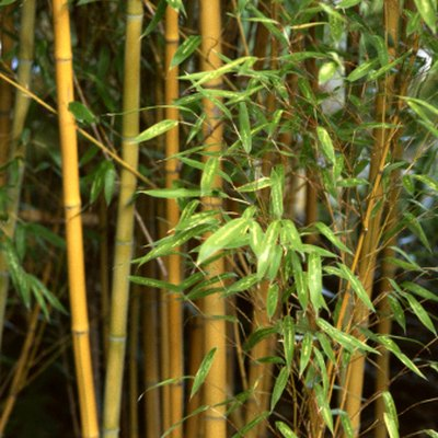Can You Cut Bamboo & Have It Reroot?