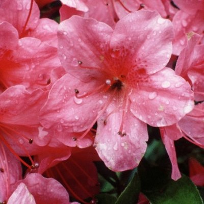How to Care for a Potted Topiary Azalea