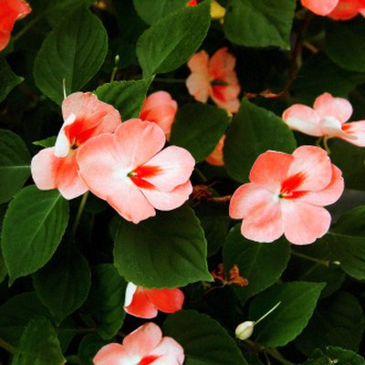 How to Tell Vincas & Impatiens Apart