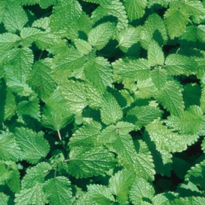 How to Care for Mint Plants on a Windowsill