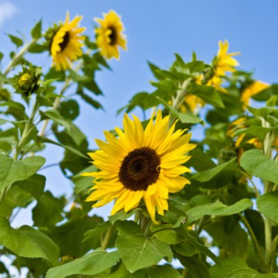 Common Sunflower Look-Alikes