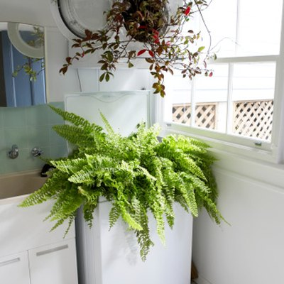 How to Water Boston Ferns