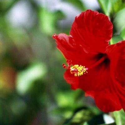Hibiscus Leaf Facts