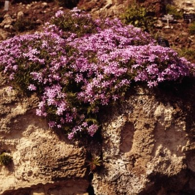 Are Mountain Pinks Perennial Flowers?