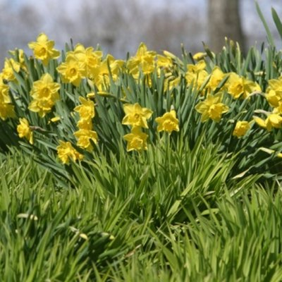 Are Daffodils Perennials?