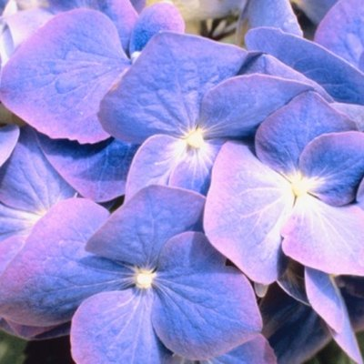 How to Grow Hydrangea Gutges Mathilda in a Pot