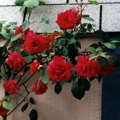 The Best Climbing Roses for Texas