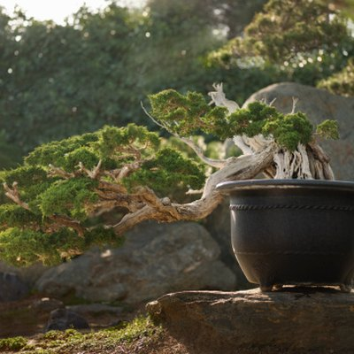 How to Tell How Old a Bonsai Tree Is