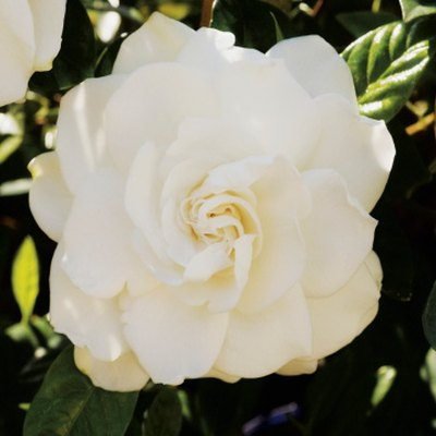 Are Gardenias Annuals or Perennials?