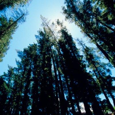 How to Use Tordon to Kill Trees