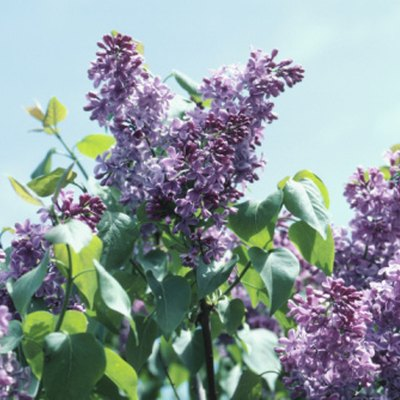What Is the Fastest Growing Lilac Bush?