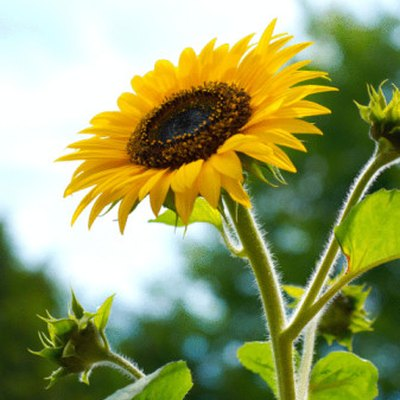 How Long Will a Cut Sunflower Last?