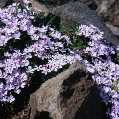 How Fast Does Creeping Phlox Grow?