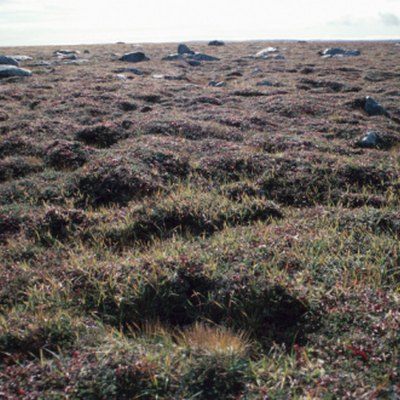 Shrubs in the Tundra