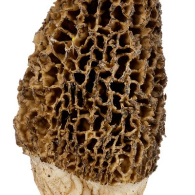 How to Plant Morel Mushroom Seeds
