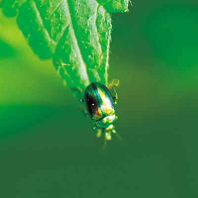 Repellent for Fig Beetles