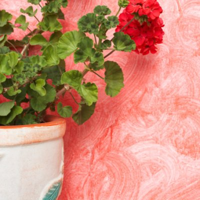 Geraniums As Insect Repellent