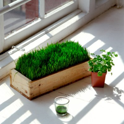 Can Wheat Grass Be Cut Twice?