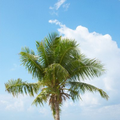 Frizzle Top Palm Tree Cures