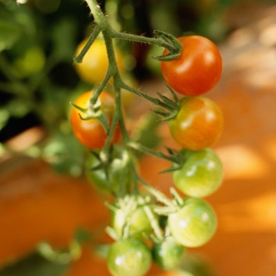 Signs & Symptoms of Over Watering Tomatoes