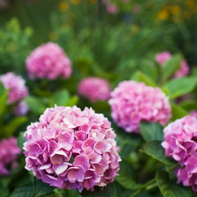 How to Grow Hydrangea Seeds