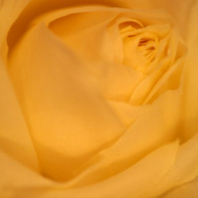 How to Gold Dip a Rose