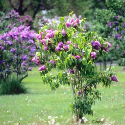 Does the Wood of Lilac Bushes Make Good Firewood?